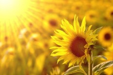 beautiful_sunflower_hd_picture_3_166950