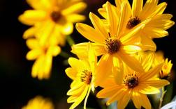 yellow_daisy_flowers-wide